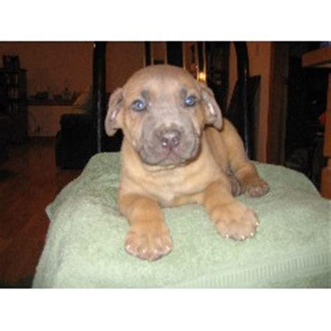 corso puppies for sale in illinois corso mastiff puppies for sale in illinois