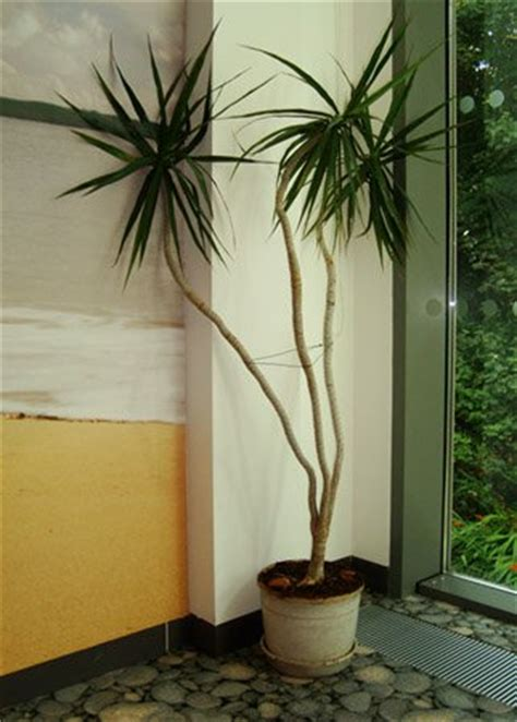 dracaena marginata madagascar dragon tree guide