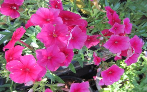 petunia is a popular annual flowering plant which can be