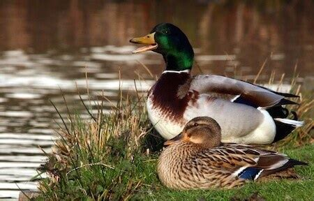 care   pet duck caring pets