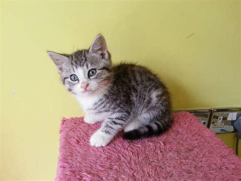 Beautiful Male Grey Tabby Kitten for Sale   Norwich