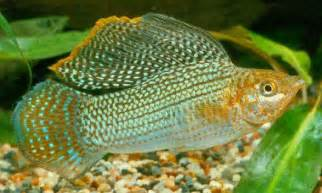 aquarium fish Sailfin Molly Poecilia velifera ?????????