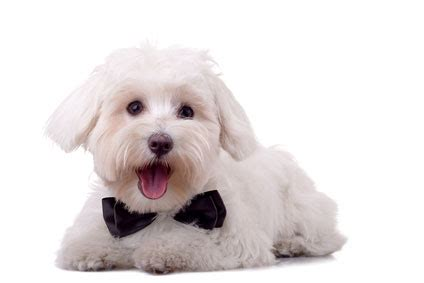 maltese don t 7 small breeds that don t shed shih tzu puppies shitzu puppies