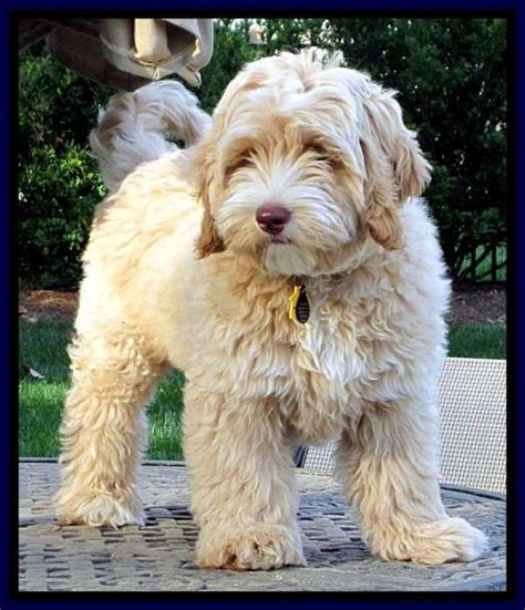 goldendoodle club of america goldendoodle grooming labradoodle puppies for sale and