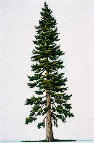 douglas fir tattoo douglas fir tree idea northwestern at