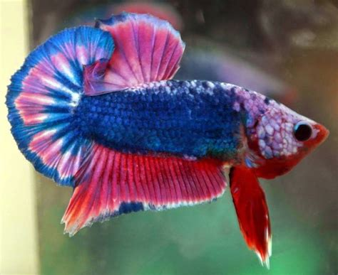 Best Aquarium My Fish Cleaning Tank Betta Cupang 27 best images about indobettafish on swim cubicles and cichlids