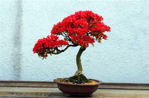 potatura azalea in vaso azalea bonsai attrezzi e vasi per bonsai bonsai di azalea
