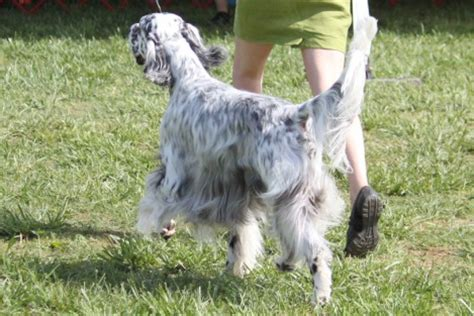 english setter dog wiki english setter breed information english setter images