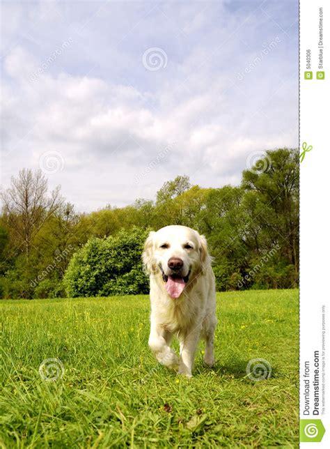 walking golden retriever puppy golden retriever walking royalty free stock image image 5040306