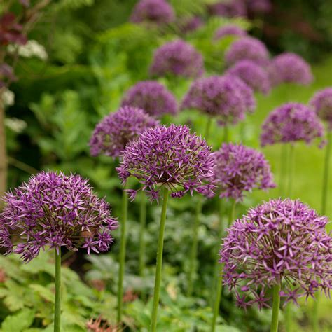 buy allium bulbs allium stipitatum violet beauty delivery by crocus