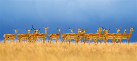A Marvelous Take On The Safari Look With Out Of Africa by The Tanzania Spectacular Safari Micato Safaris