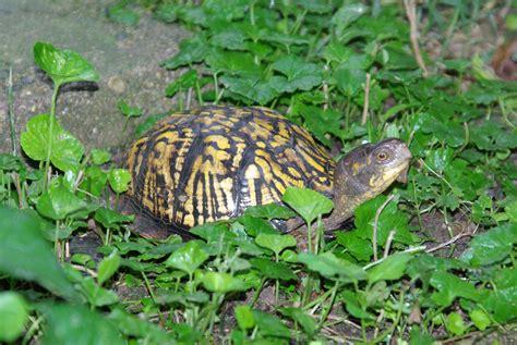 Garden Turtle Garden And Box Turtle June 28 2008 Edgeinfotech