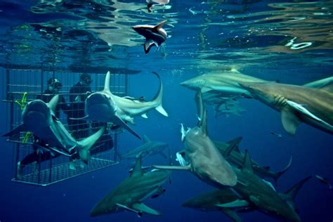 cage dive with sharks shark cage diving kzn shark cage diving south coast