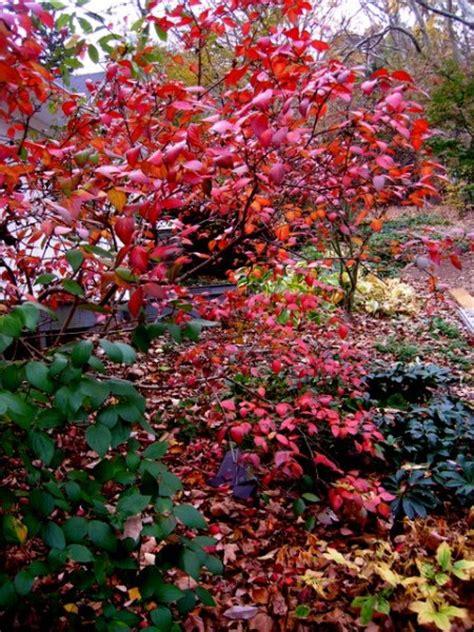 fall foliage plants fall foliage color at carolyn s shade gardens carolyn s