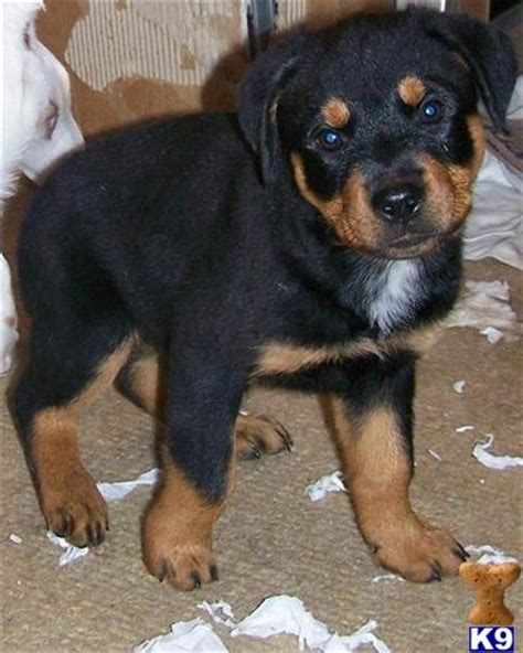 white rottweiler puppies for sale co rottweiler tattoos