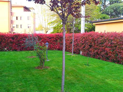siepi da terrazzo sempreverdi piante da giardino sempreverdi siepi da vaso per terrazzo
