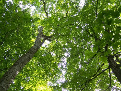 What Is A Tree Canopy How To Draw Canopy Of Trees
