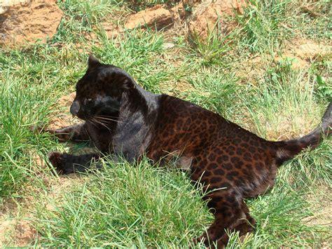 black leopard file black leopard jpg wikipedia