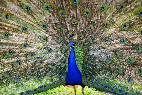 Pretty As A Peacock by Pretty As A Peacock Photograph By Tony Colvin