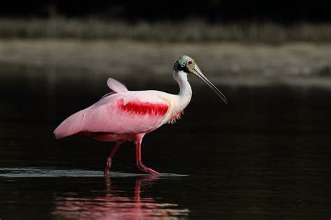 pink wallpaper with birds wallpaper heron water bird heron with pink wings