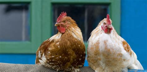 backyard chicken blogs backyard chicken blogs how to build a chicken coop in