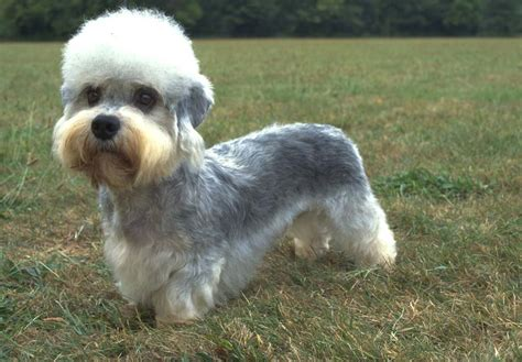 dandie dinmont terrier puppies dandie dinmont terrier puppies for sale akc puppyfinder