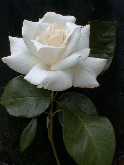 5 Things White And Beautiful by صورة وردة بيضاء شبكة الشفاء الإسلامية Ashefaa