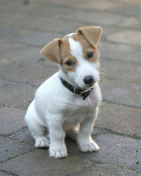 jrt puppies puppy soo terriers