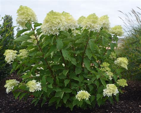 flowering shrub plant preview how to a flowering shrubs into a