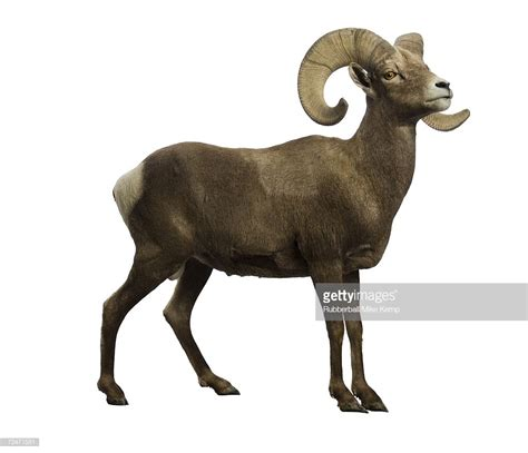 Images Of A Ram profile of a ram stock photo getty images