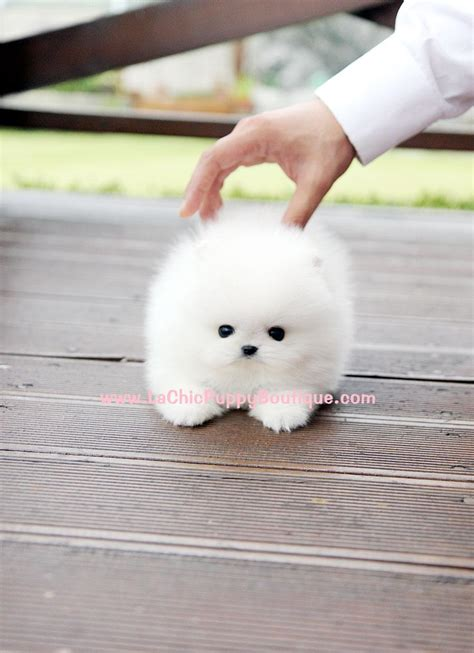micro dogs micro teacup maltese puppies i don t generally like small dogs but seriously