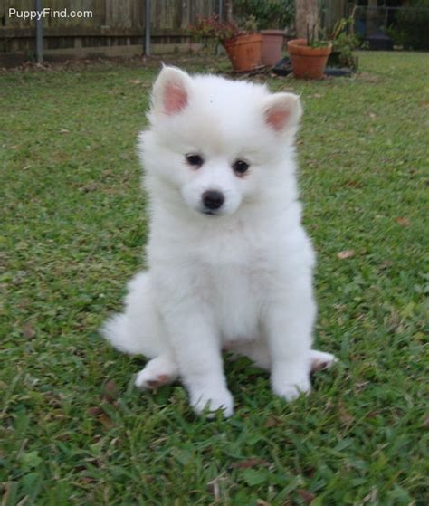 miniature american eskimo puppies miniature american eskimo happiness is