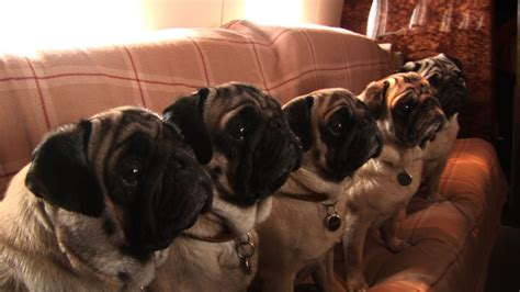how much are pug pugpugpug how much are pugs