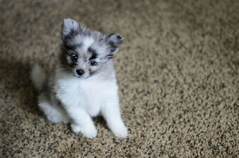 pomeranian australian shepherd best 25 pomeranian mix ideas on pomeranian mix puppies pomsky and pomsky