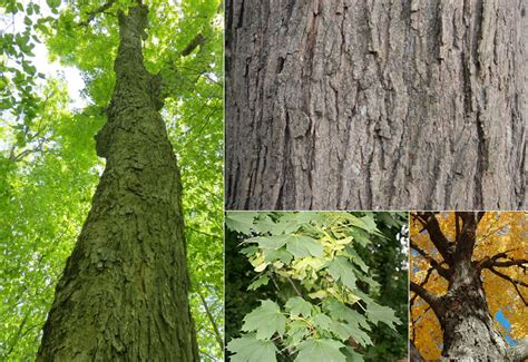 maple tree value estimating standing timber value timber works