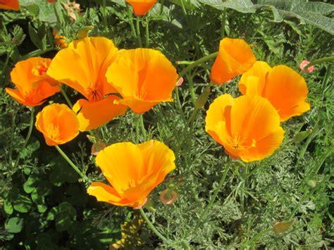 california poppy california poppy tea root simple