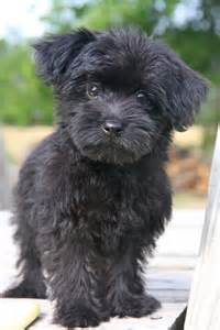 black yorkie dog hairstyles i want a black yorkipoo animals pinterest teacup