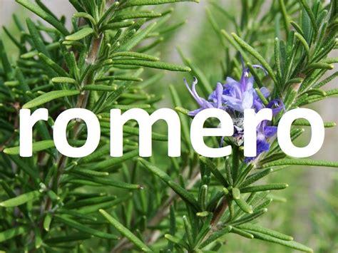 imagenes de flores medicinales plantas medicinales el romero youtube