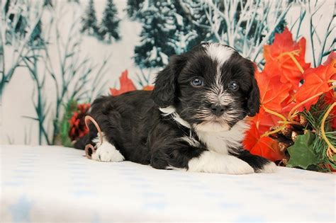 tri colored havanese puppies royal flush havanese puppies for sale tri colored ready to go home 1 20