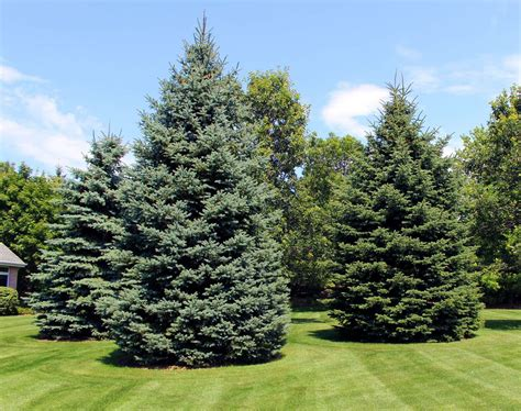 evergreen trees and plants in appleton wi