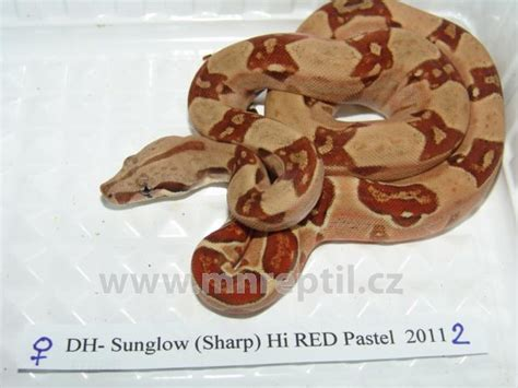 Boa Pastel 1 available www mnreptil cz captive bred reptiles by