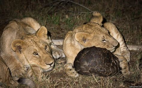 lucky armadillo  animal escapes hungry lions clutches  rolling   ball caters news