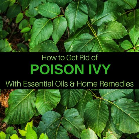 how to get rid of poison ivy 15 remedies essential oils