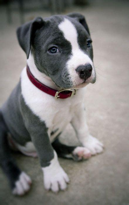 gray pitbull puppy grey and white pitbull puppy pitbulls kennels