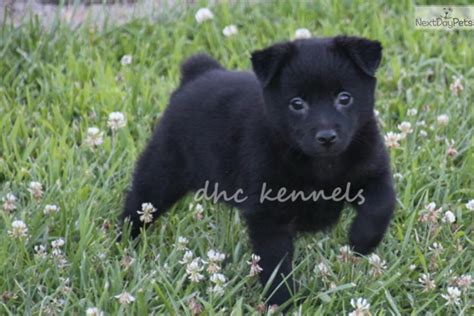 akc schipperke puppies for sale schipperke puppy for sale near springfield missouri 01226f74 af21