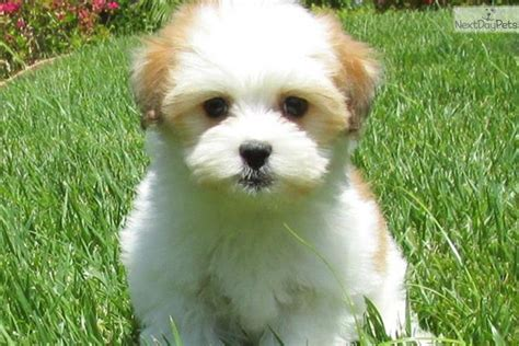 havanese san diego san diego dogs for sale puppies cats kittens pets for sale backpage