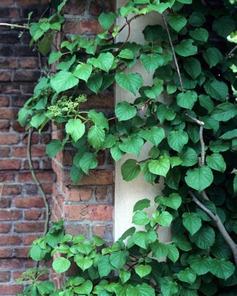 climbing vines perennial vines vines climbers twiners u of i extension
