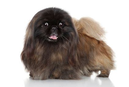 can dogs eat banana peels 94 best pekingese facts images on facts pekingese puppies and your