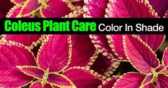 coleus plant care for color in shade