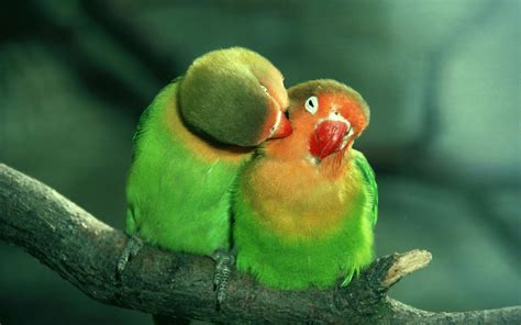 images of love birds hd vocabulary and idioms